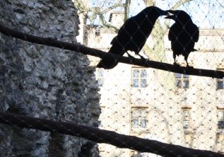 Tower ravens having a loving moment.